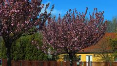 Schöner wohnen mit der japanischen Zierkirsche vor dem Haus...