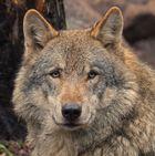 Schöner Wolf