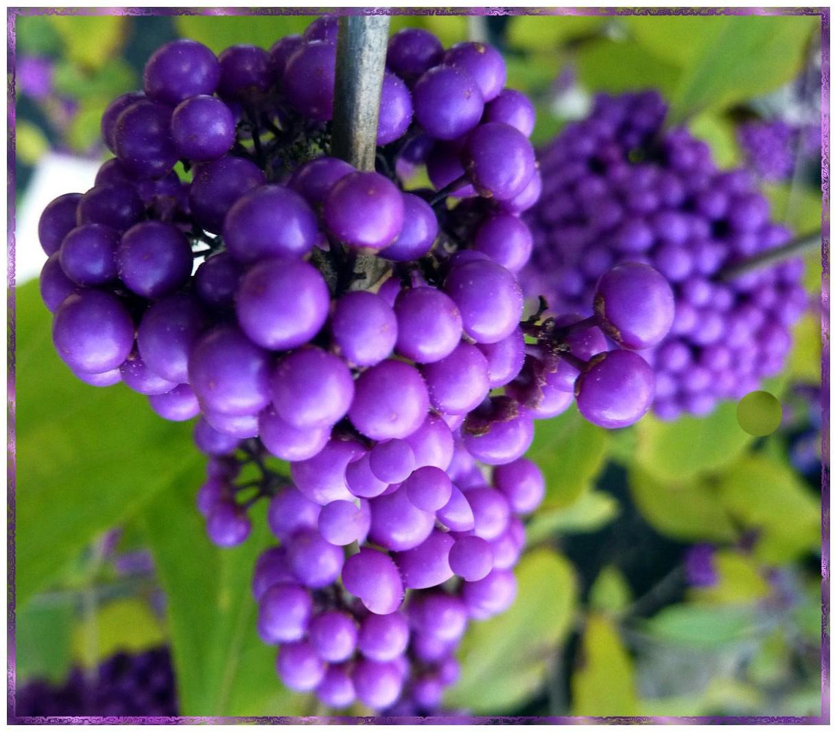 Schönfrucht in LILA