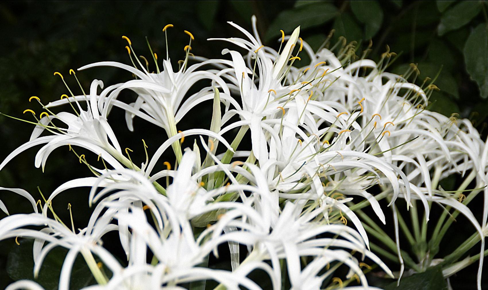 Schönhäutchen Hymencallis speciosa (Amaryllidaceae)