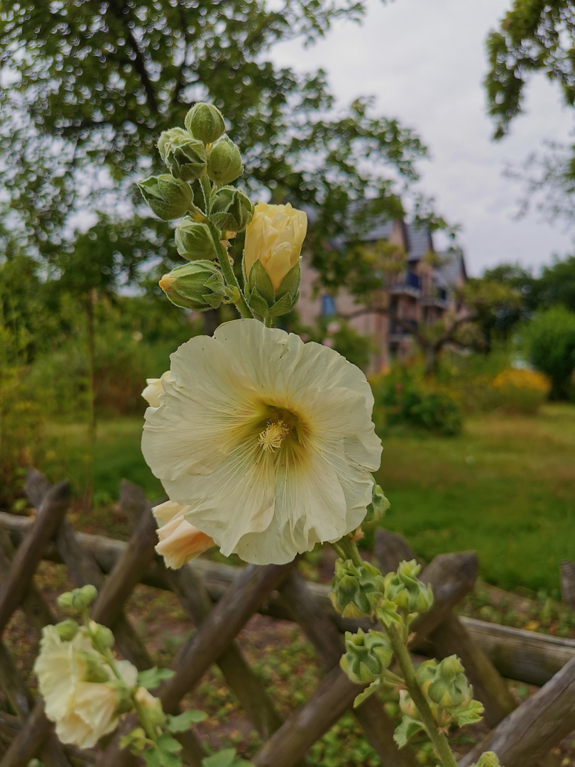 Schönheit am Gartenzaun...
