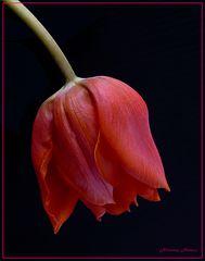 Schönheit  einer roten Tulpe