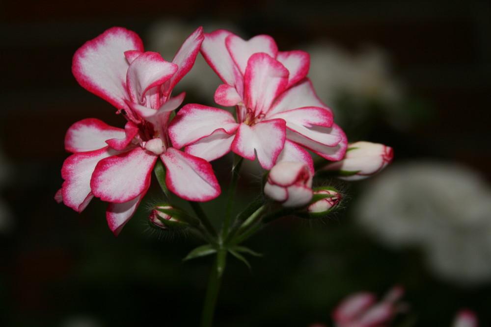 Schönheit im Garten