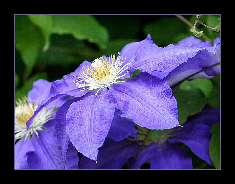 Schönheit in Blau