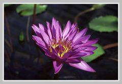 Schönheit in lila