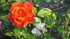 Schönheiten im Juni...sind Rosen im Garten