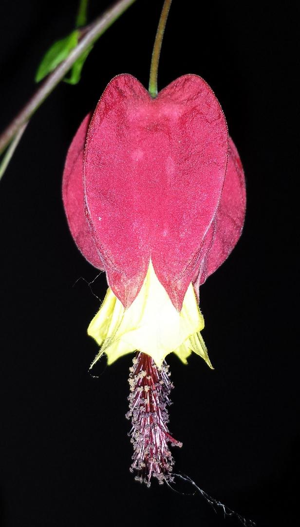 Schönmalve - Abutilon Samtpappel