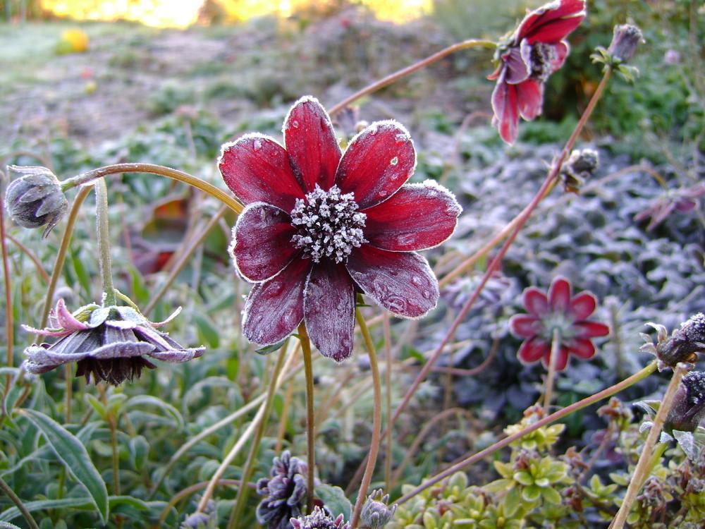 Schokoladenblume gefrostet