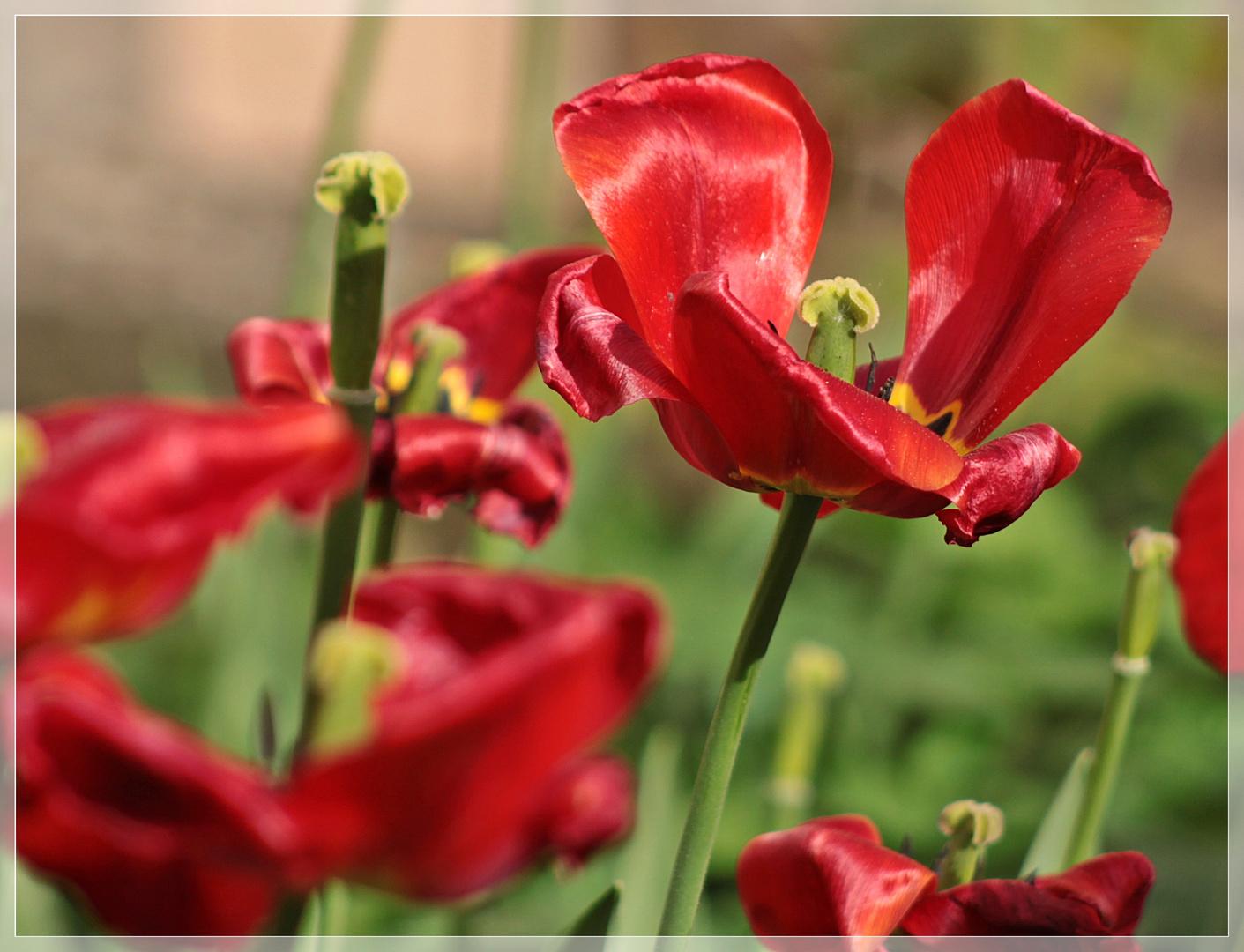 schon fast verbl hte tulpen foto bild rot tulpen natur bilder auf fotocommunity. Black Bedroom Furniture Sets. Home Design Ideas