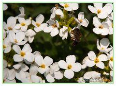 schon fleißiges Bienchen