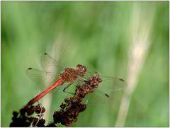 .. schon wieder eine Libelle ...