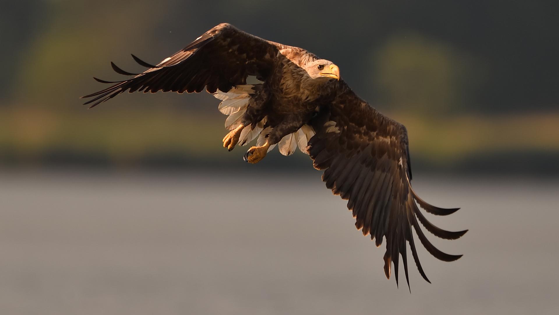 --schon wieder n u r ein  Adler!