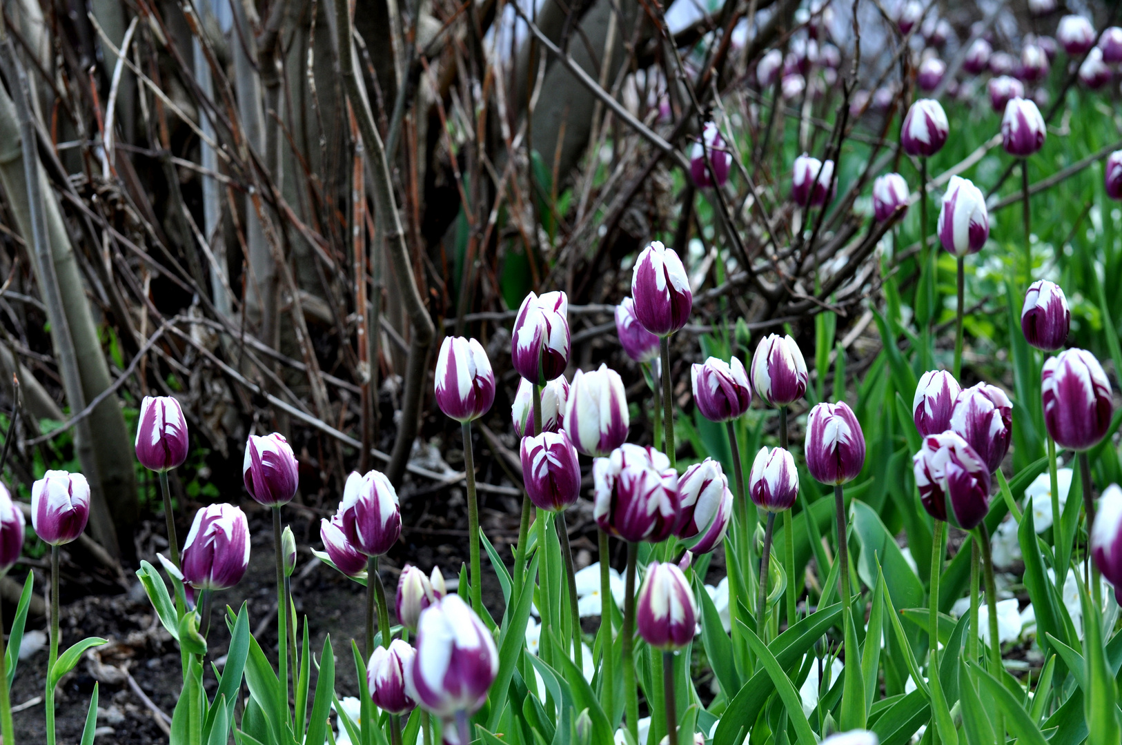 Schon WIEDER Tulpen, sorry ;-)))