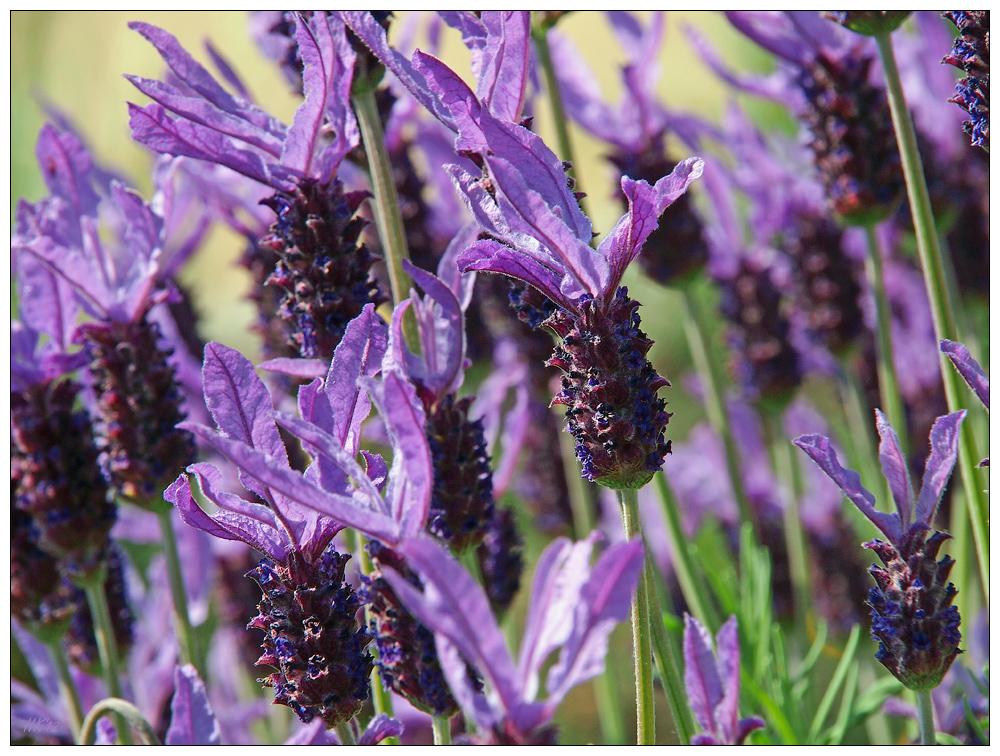 schopf lavendel foto bild pflanzen pilze flechten. Black Bedroom Furniture Sets. Home Design Ideas