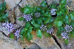 Schopfrapunzel mit so vielen Blüten wie noch nie zuvor bei uns im Alpinum