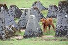 Schottische Hochlandrind, Highland Cattle oder Kyloe