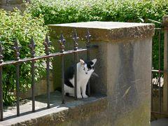 Schottische Katze