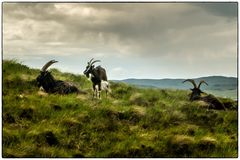 Schottische Ziegen