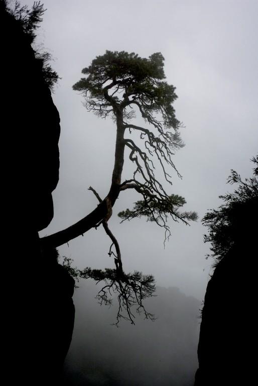 Schräger Baum im Nebel (sächs. Schweiz)