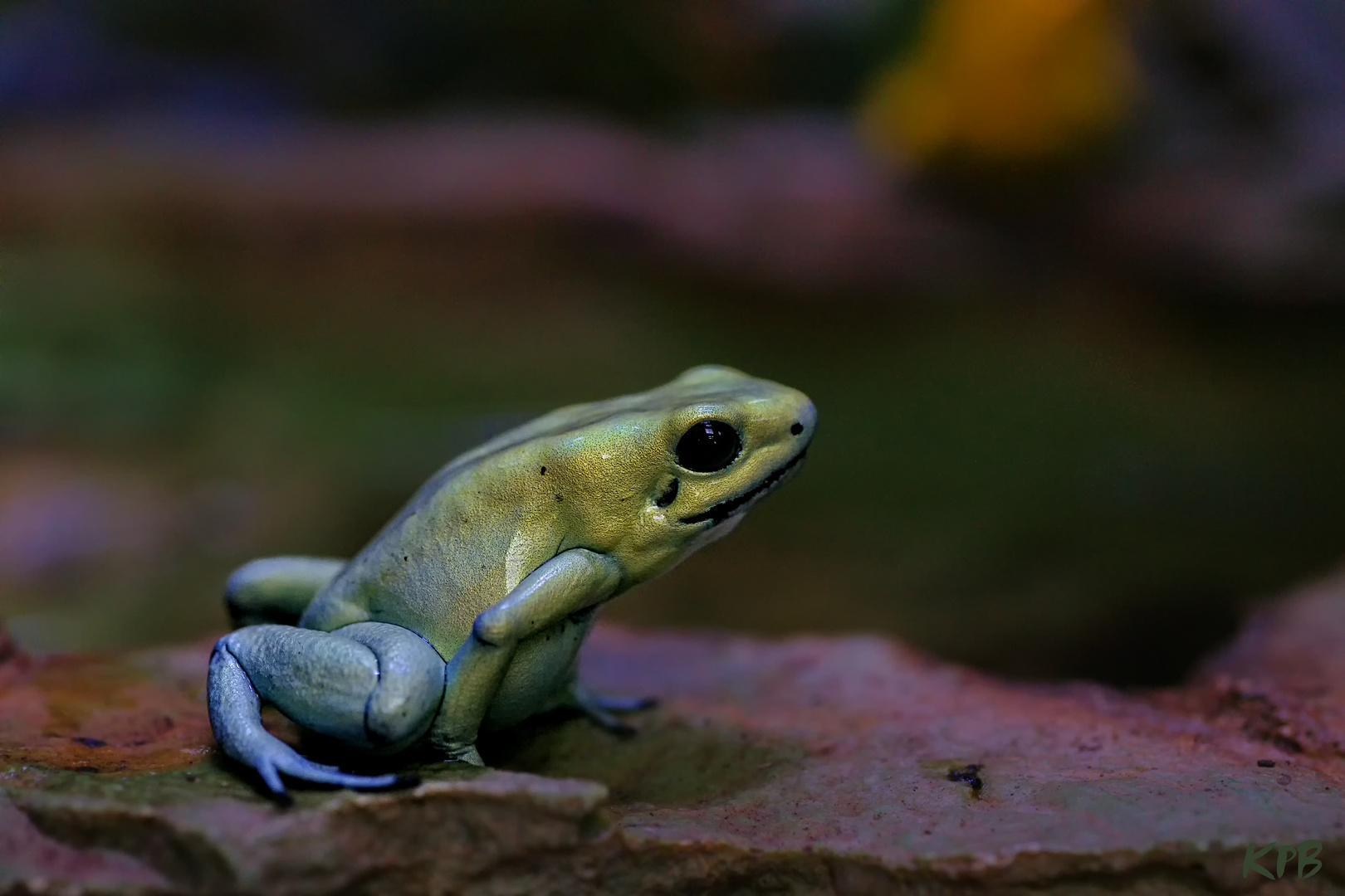 Schrecklicher Pfeilgift Frosch