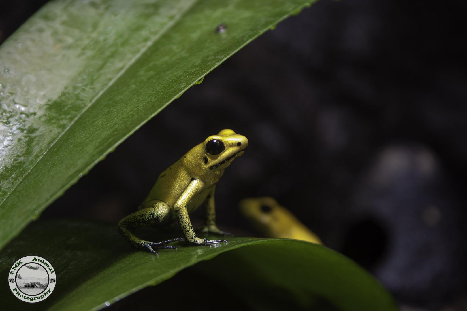 Schrecklicher Pfeilgiftfrosch /golden poison frog