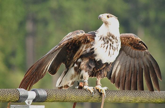 Schrei Adler!