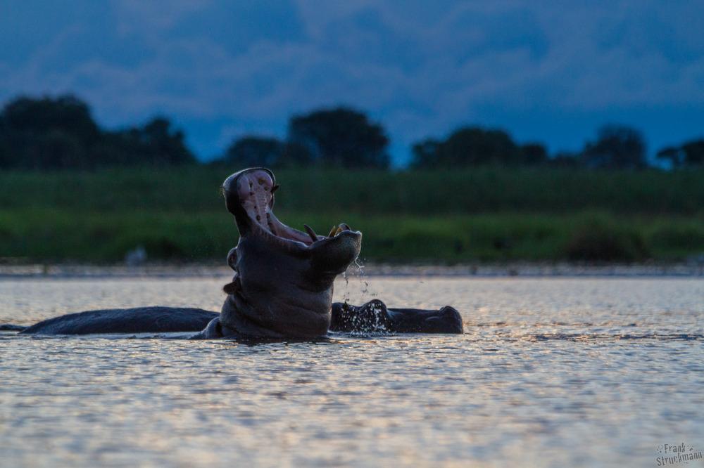 Schrei mich nicht an!! Hippo (Nilpferd)