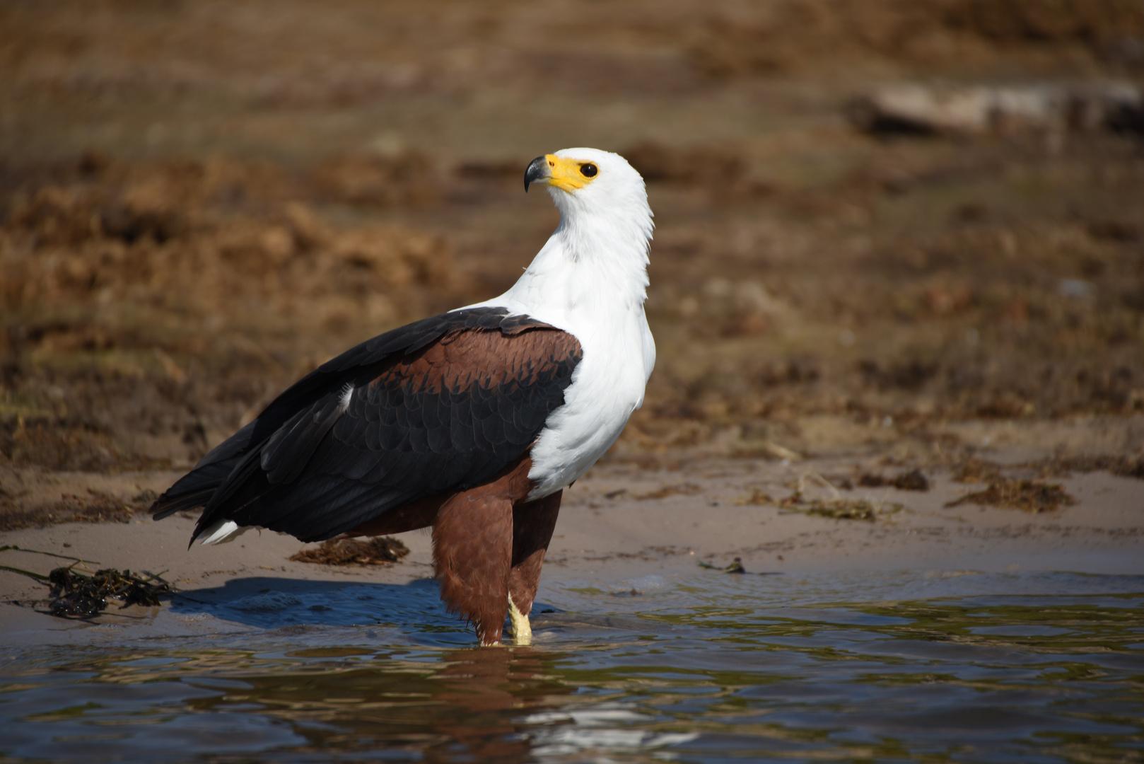 Schreiseeadler am Chobe River