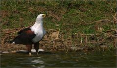 schreiseeadler/african fish-eagle (haliaeetus vocifer)