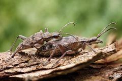 Schrotbock Käfer Paarung