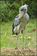 Schuhschnabel (Vogelpark Walsrode)