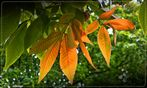 Schuppenrinden-Hickorynuss (Carya ovata)
