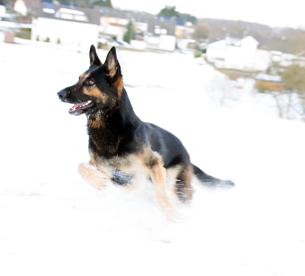 Schutzhund im Schnee