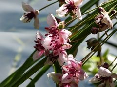 Schwaanenhalsblume in meinem Teich - streng geschützte Art