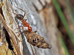 Schwachbeborstete Gebirgswaldameise (Formica aquilonia) - Une fourmi de la montagne.