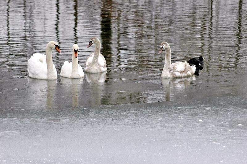 Schwäne am Wöhrsee