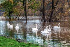 Schwäne im leichten Moselhochwasser