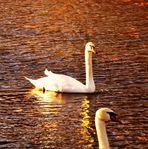 Schwäne im sonnen beschienen See