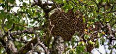Schwärmende Bienen versammeln sich um die Königin!