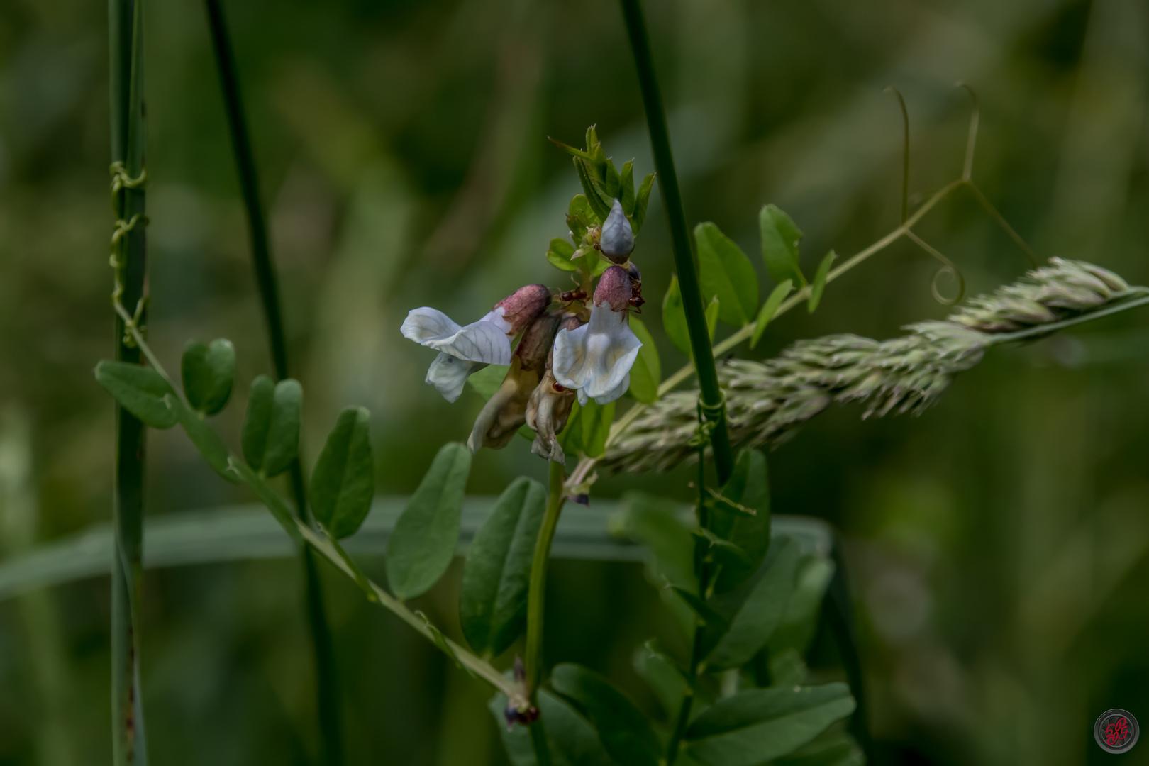 Schwärzende Platterbse (Lathyrus niger)