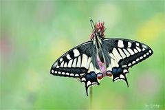 Schwalbemschwanz - Papilio machaon