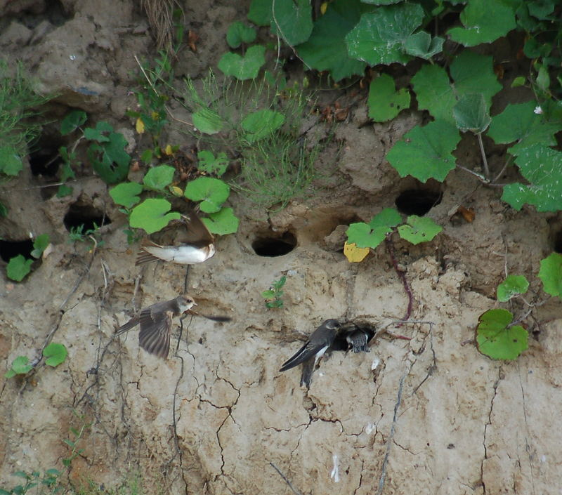 Schwalben in der Steilwand in Laboe