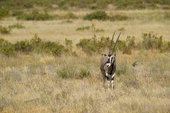 Schwalben mit Oryx