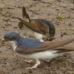 Schwalben sammeln Lehm zum Nestbau