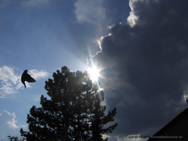 Schwalbenflug um den Baum des Jahres 2007
