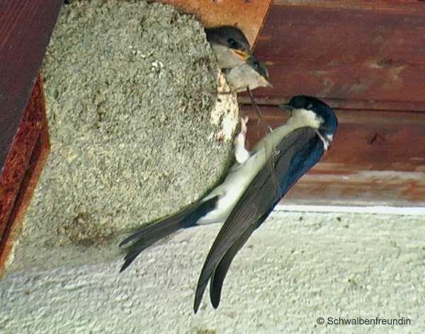Schwalbenfütterung am Nest
