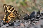 Schwalbenschwanz auf Wanderung