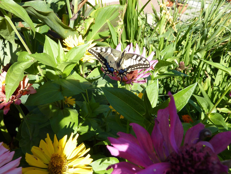 Schwalbenschwanz bei uns in Garten auf Besuch.