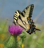 Schwalbenschwanz -Butterfly - Papilio glaucus- Tiger Swallowtail.