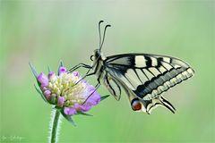 Schwalbenschwanz close-up - Papilio machaon